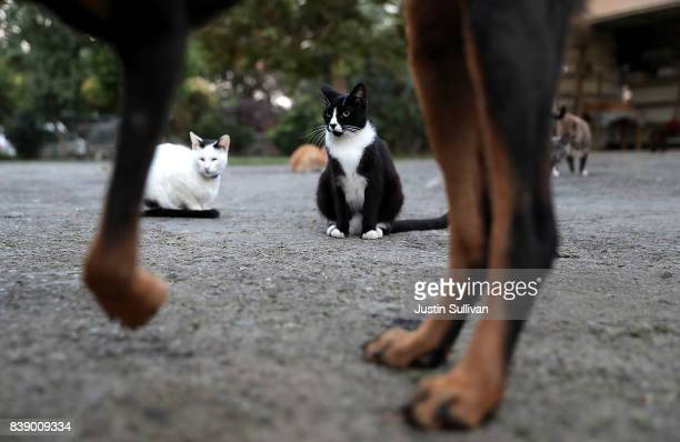 A dog names Shiloh walks by cats that are lounging at The Cat House on the Kings on August 25 2017 in Parlier California The Cat House on the Kings...