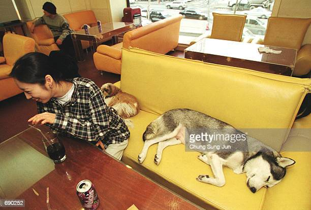 A dog naps at the only dog friendly cafe the igloo January 14 2002 in Seoul South Korea Promoters of the culinary tradition of eating dog meat and...