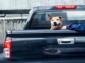 Dog on black pick up truck back view