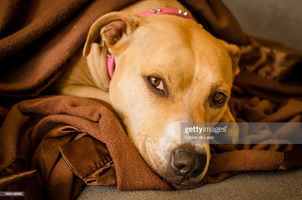Dog On Couch : Stock Photo