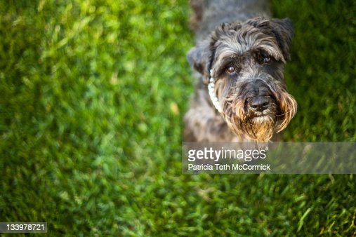 Dog on grass looks up at camera with pleading eyes : Stock Photo
