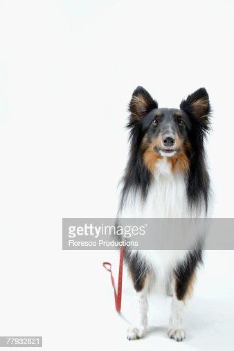 Dog on leash : Stock Photo