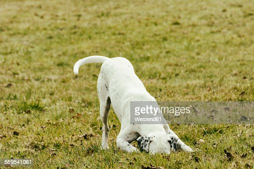 Dog on meadow sniffing