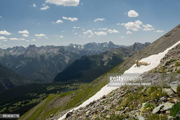 Dog on snow in summer mountains