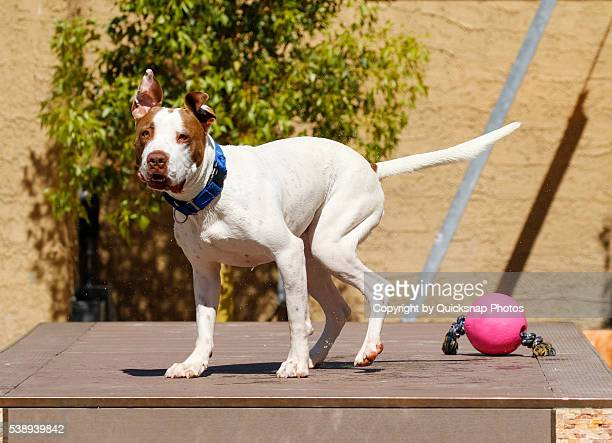 Dog on the dock with his ears up