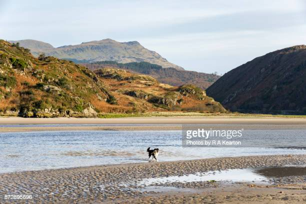 Dog on the Dwyryd estuary in Snowdonia national park, Wales
