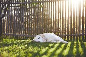 Dog on the garden at the sunset. Old labrador retriever sleeping on the grass against wooden fence.