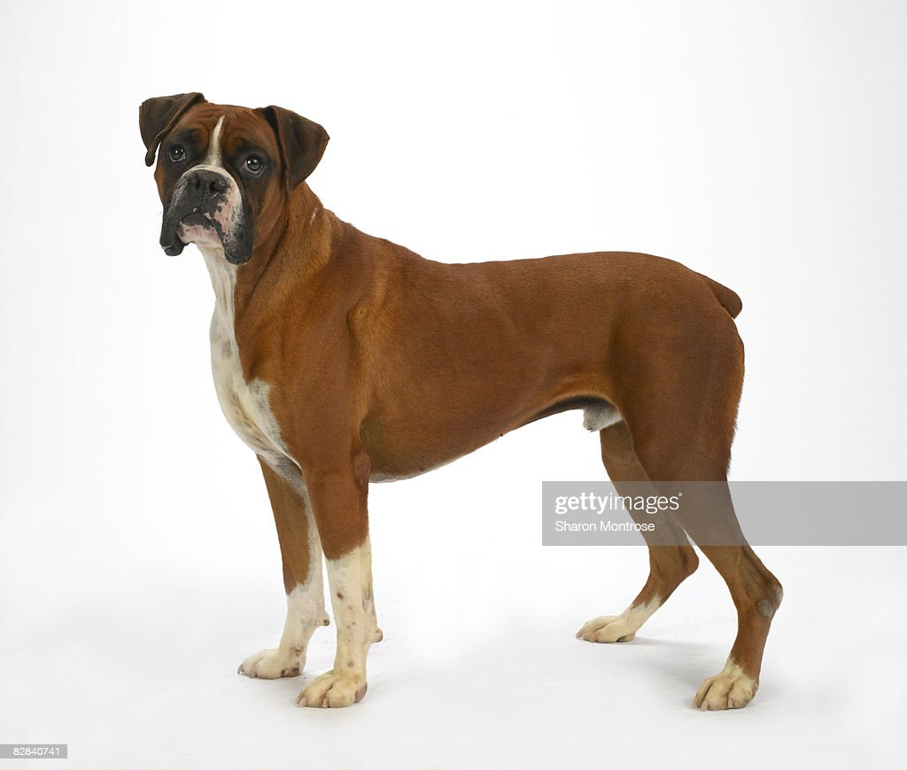 Dog on White 20