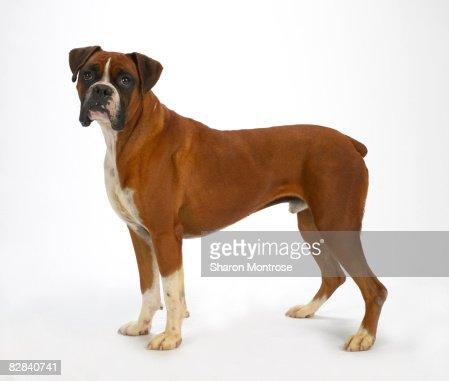Dog on White 20