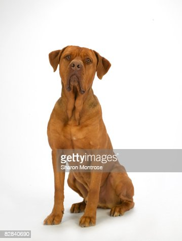 Dog on White 32 : Stock Photo