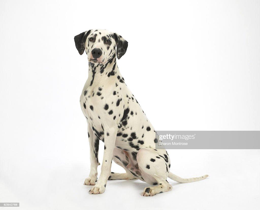 Dog on White 91 : Stock Photo