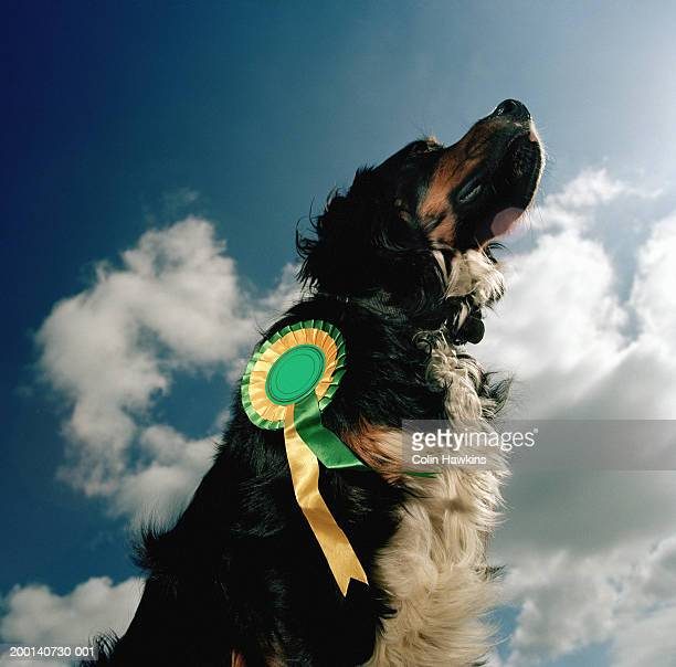 Dog outdoors, wearing rosette, low angle view