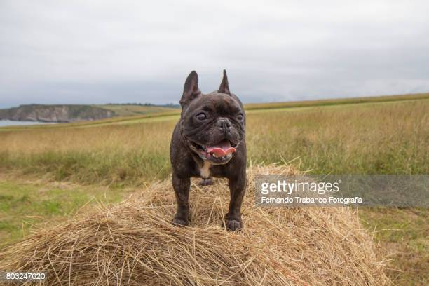 Dog over hay bale with tongue out by the heat