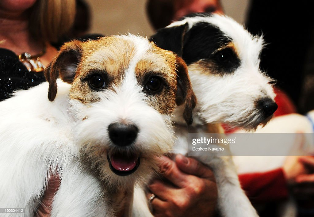 Dog owner Sue Sobel and her Russell Terrier dogs (L) 'Madison' and (R) Pepper attend The Westminster Kennel Club 137th Annual Dog Show - Press Conference at Affinia on January 28, 2013 in New York City.