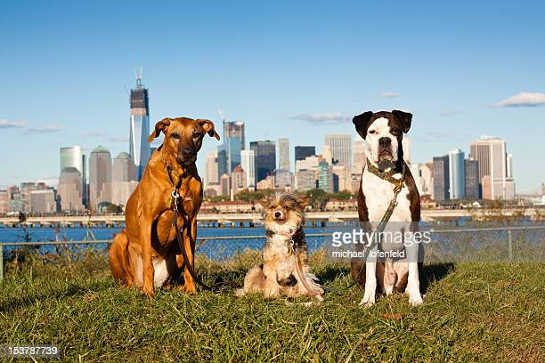A pack of dog including Rhodesian Ridgeback, Chinese Crested, and Boxer sitting on the grass in Liberty State Park (Jersey City, NJ) and posing infront of the World Trade Center.