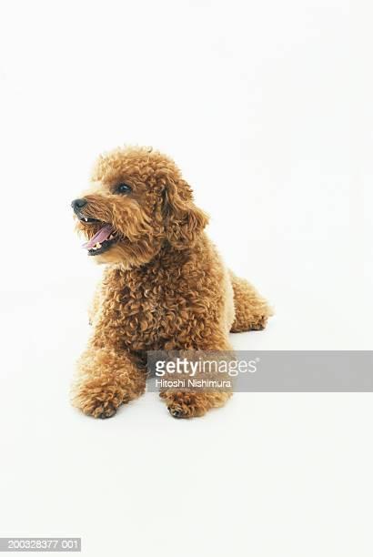 Dog panting, looking away