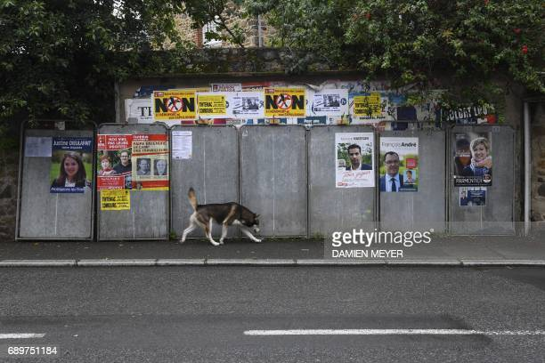 A dog passes by posters of candidates for the upcoming legislatives elections on May 29 2107 in Tinteniac western France / AFP PHOTO / DAMIEN MEYER