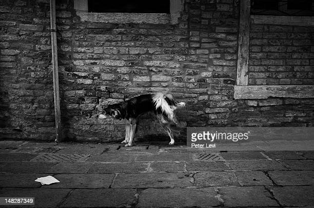 Dog peeing against wall