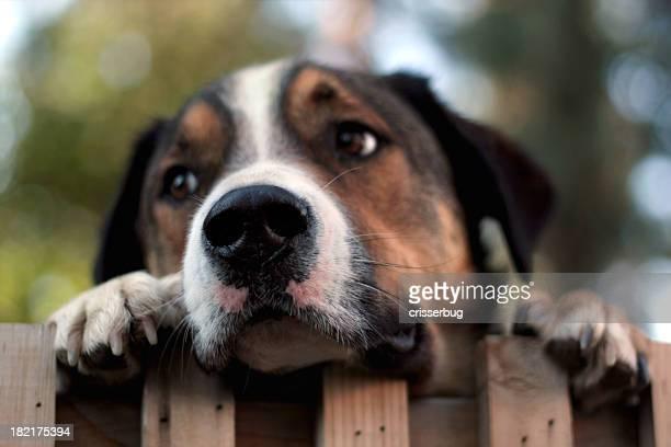 Dog Peering Over Fence