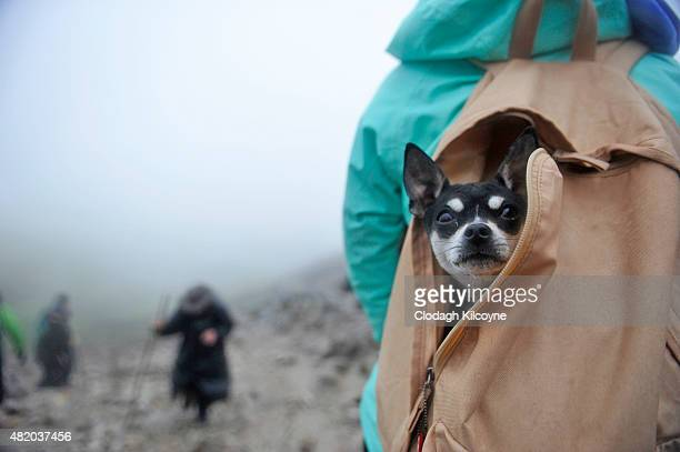 A dog peers out of a woman's backpack as she climbs Croagh Patrick during the annual Christian pilgrimage of climbing up Croagh Patrick mountain...