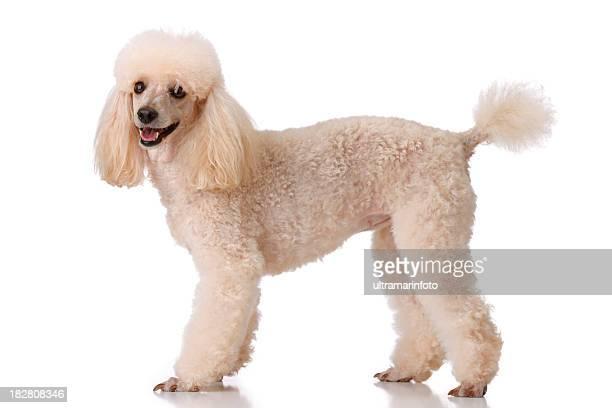 - Hund