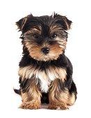Yorkshire Terrier Puppy Sitting