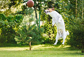 Jack Russell Terrier dog jumps high