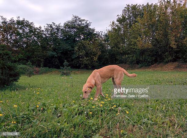 Dog Playing In Meadow
