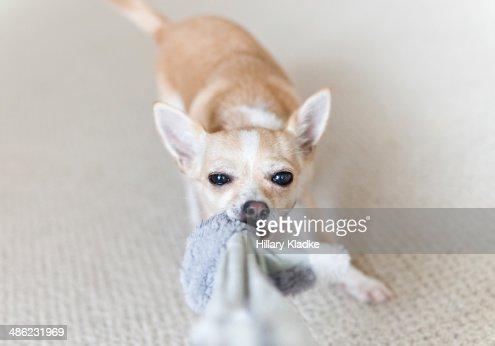 how to teach a dog tug of war
