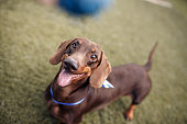 A cute brown dachshund waiting to catch the ball