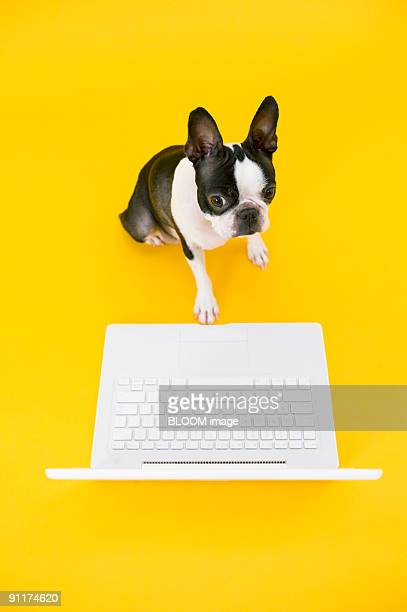 Dog playing with laptop