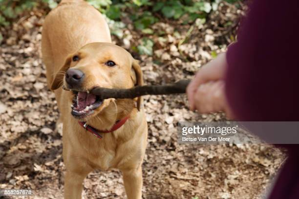 Dog playing with pet owner, both pulling on one end of wooden stick.