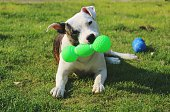 Dog Playing With Toy In Field