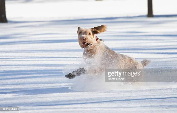 A dog plays in the snow in Humboldt Park on February 2 2015 in Chicago Illinois Snow began falling in the city Sunday morning and did not stop until...