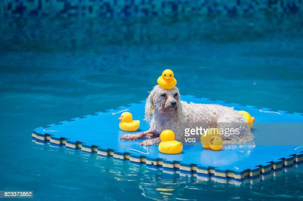 A dog plays on foam pad in swimming pool on July 26 2017 in Chengdu Sichuan Province of China 4 swimming pools have been opened to dogs in Chengdu...