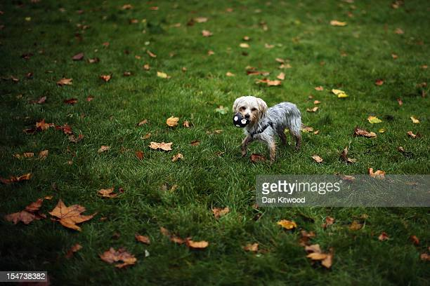 A dog plays on the grass outside The Houses of Parliament during the Westminster Dog of The Year competition in Victoria Tower Gardens on October 25...