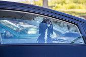 black labrador looking through car window