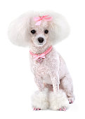 Dog Poodle with Pink Bow, Collar and Nails Isolated on White.
