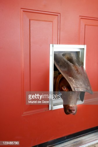Dog popping head out of doggie door : Stock Photo