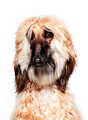 Dog Portrait - Afghan Hound