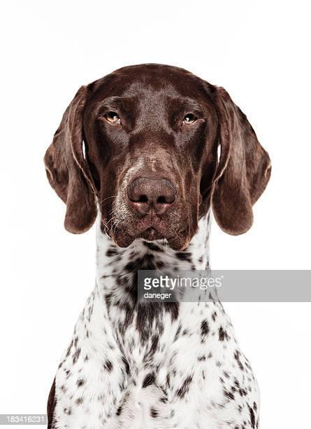 Dog Portrait - German short-haired pointer