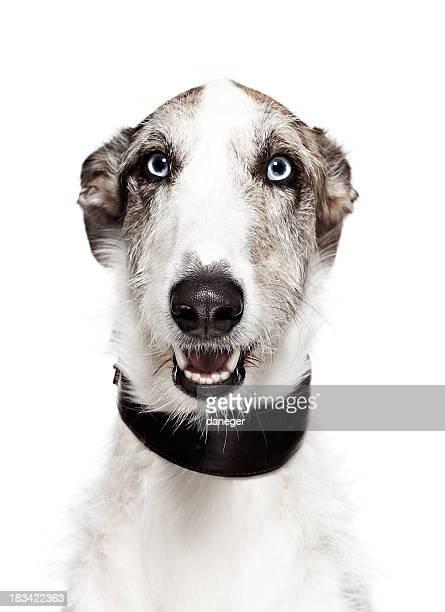 Dog Portrait - Greyhound