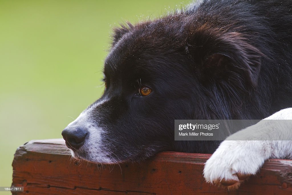 Dog Portrait : Stock Photo