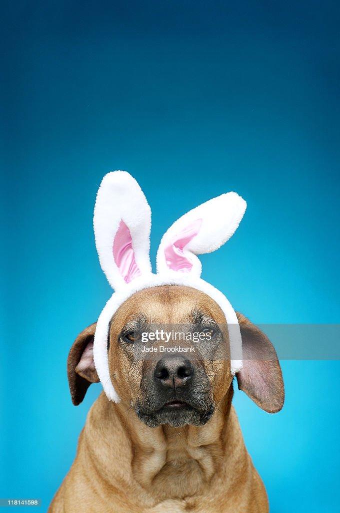 Dog portrait wearing Easter bunny ears