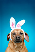 Dog portrait wearing Easter bunny ears