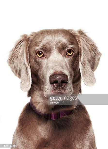 Dog Portrait - Weimaraner
