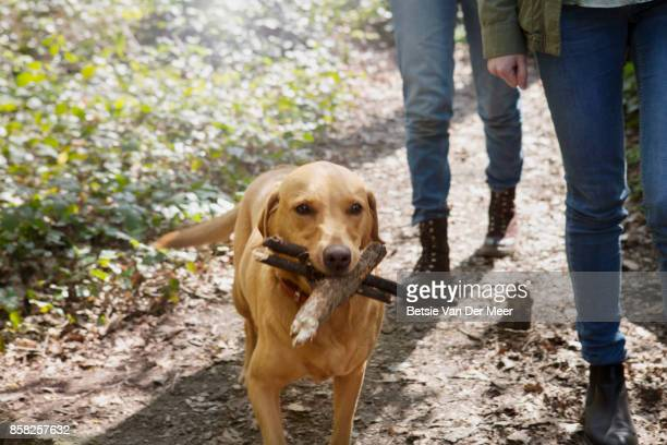 Dog proudly carries wooden sticks, walking alongside pet owners in forest.