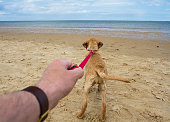 A point of view image of a yellow, Labrador Retriever pulling hard on its lead that is attached to its owners arm and heading towards the ocean whilst on a sandy beach.