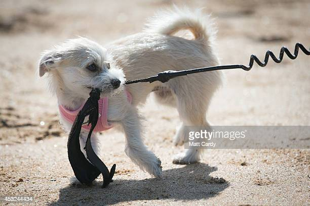 A dog pulls a surfer's leash at Fistral Beach on the first day of the Boardmasters surf and music festival in Newquay on August 6 2014 in Cornwall...
