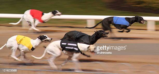 Dog race at Shelbourne Park Dublin